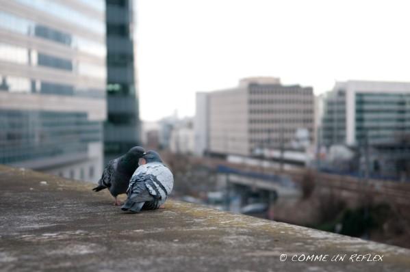 Photo de rue montrant l'idylle de 2 pigeons,Photo-Pele-Mele 6720