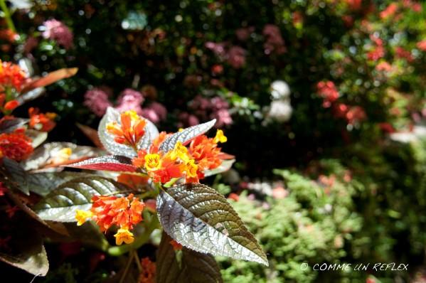 Quelques belles fleurs de la Guadeloupe à découvrir,Vegetaux--Guadeloupe- 0378
