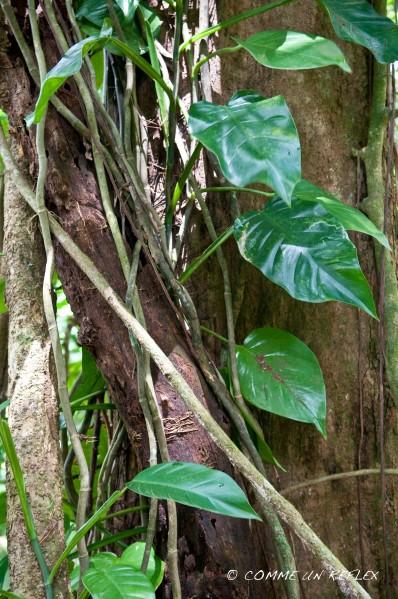 Quelques belles fleurs de la Guadeloupe à découvrir, Vegetaux--Guadeloupe- 1382