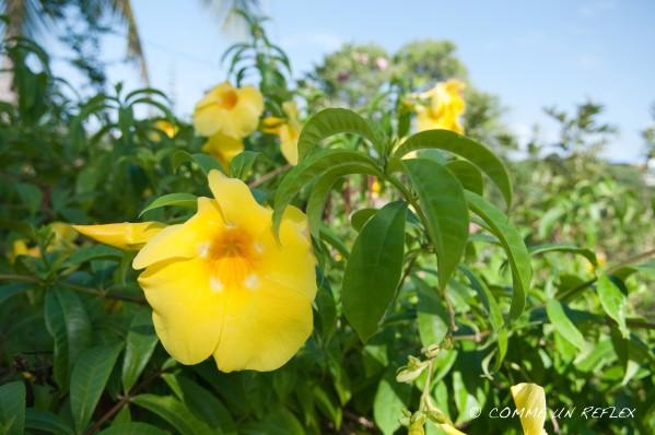Quelques belles fleurs de la Guadeloupe à découvrir,Vegetaux--Guadeloupe- 1602