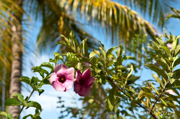 Quelques belles fleurs de la Guadeloupe à découvrir,Vegetaux--Guadeloupe- 1609
